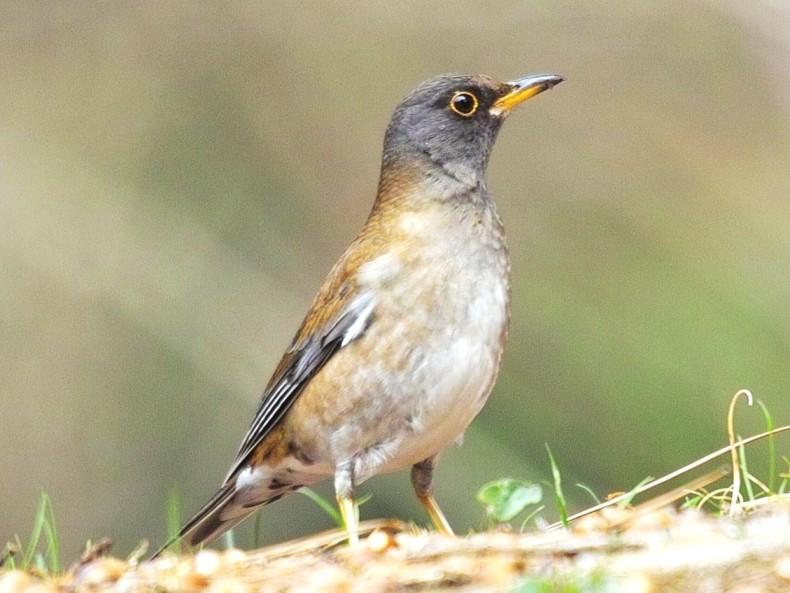 シロハラ - バードリサーチ 身近な鳥図鑑 …