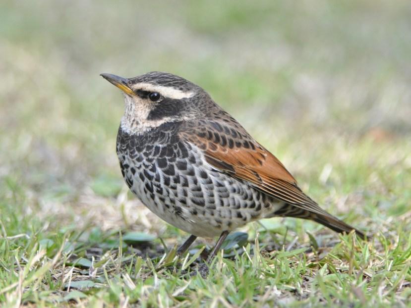 鳥の名前教えてください -シロハラに似ているよう …